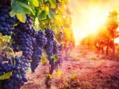 Kamperen bij een wijngaard